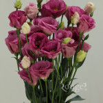 Excalibur Rose Pink