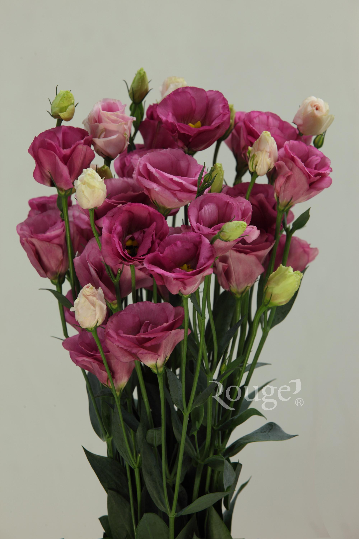 Excalibur-Rose-Pink-2