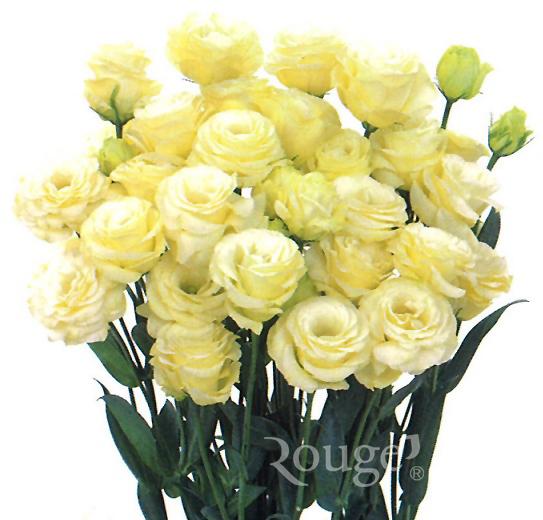 Rosina-Yellow