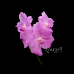 Vanda Light Pink
