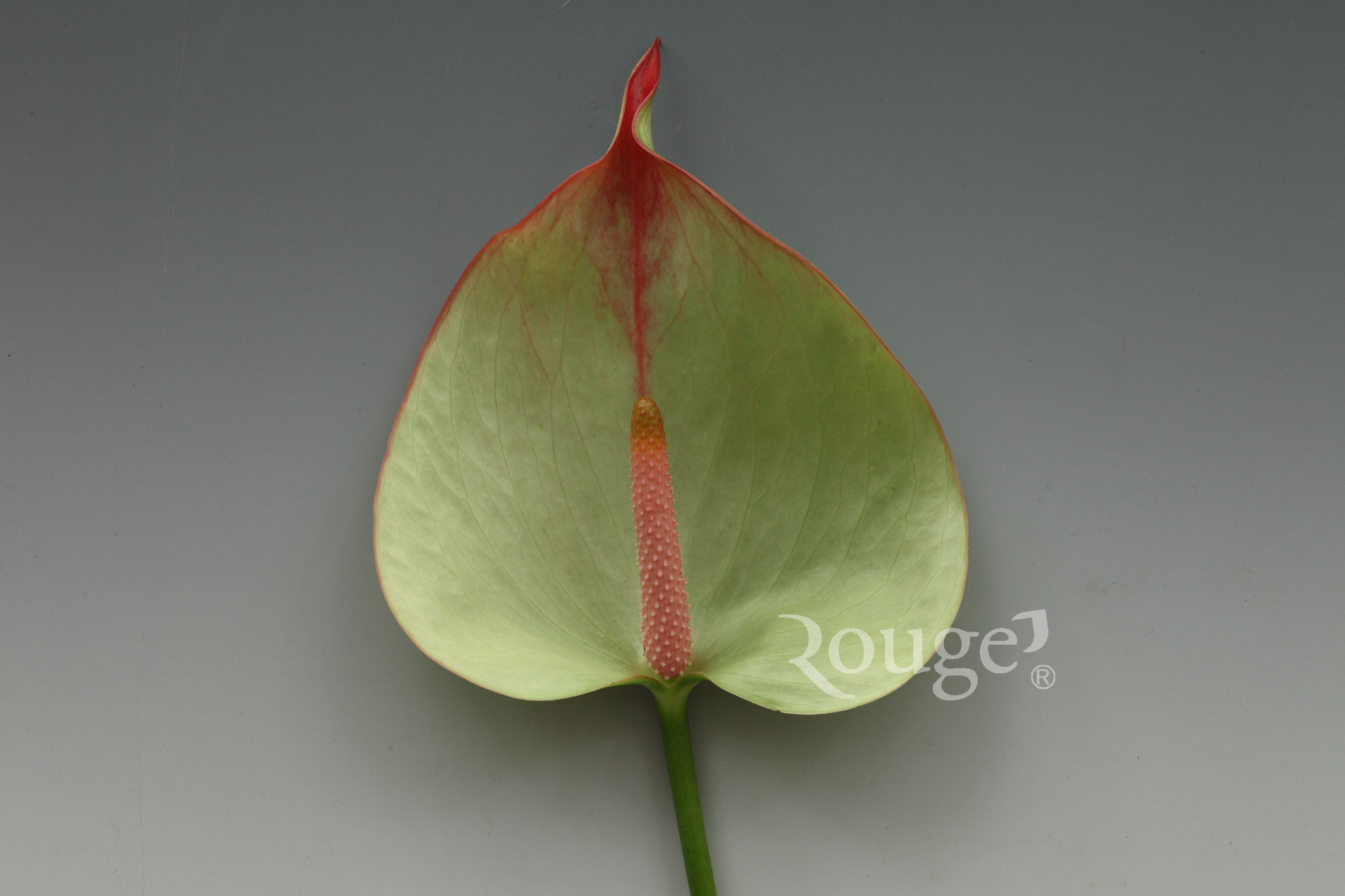 Maxima Verde