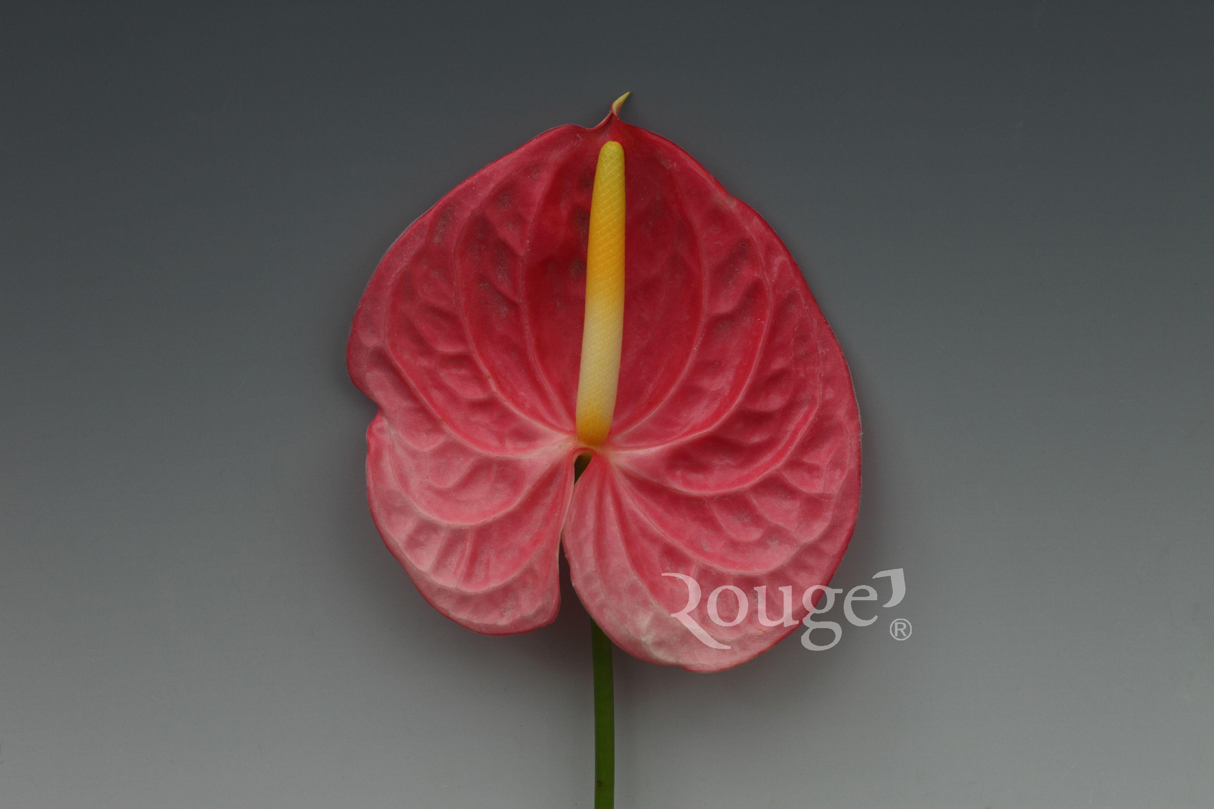 Sweet  Rosy
