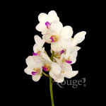 Vanda Sakura White
